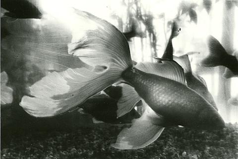 水槽の金魚,写真