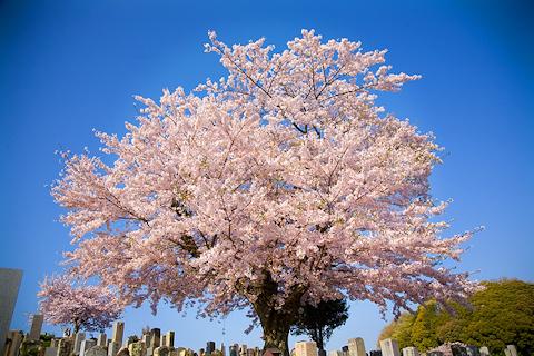 桜 ―其の参―