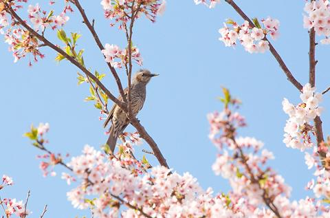 桜 ―其の弐―