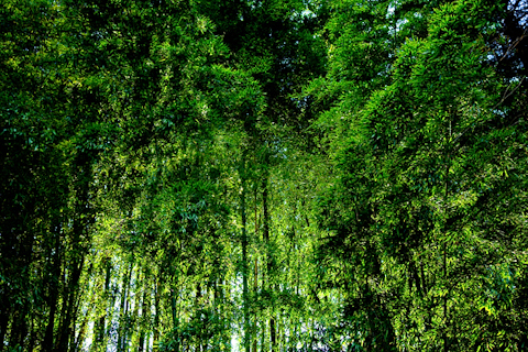 若竹の圧倒的な緑 写真