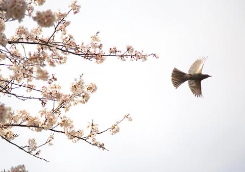 桜から飛び立つ鳥,写真