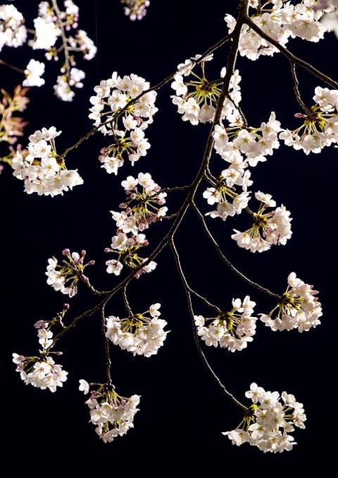 夜桜,写真