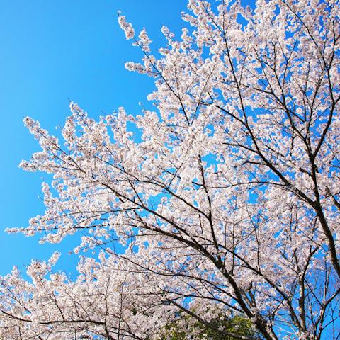 桜にまつわるはなし ―すべては繋がっている―